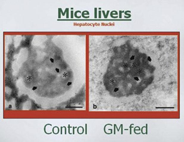 Monsanto Genetically Modified Corn Shows Liver, Kidney ...