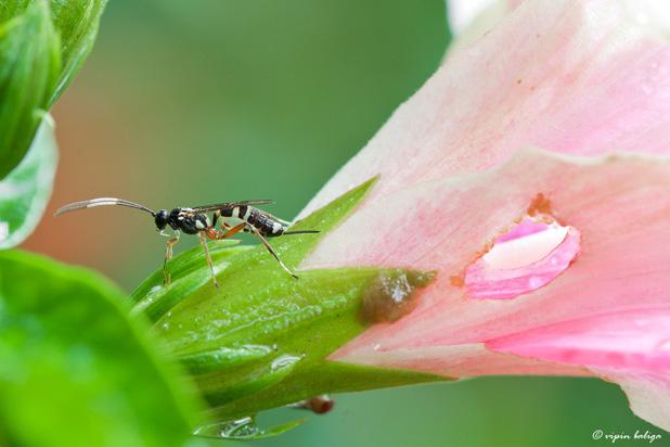 Ichneumon wasp, by Vipin Baluga