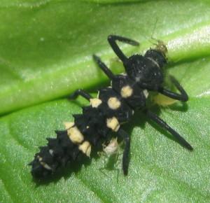 Ladybird larva, photo Ton Rulkens