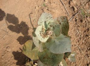 Coccinalids on calotropis plant