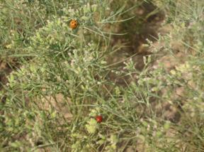 Ladybird beetles on cumin