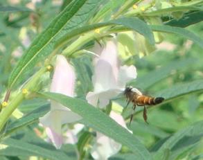 Honey bee pollinating sesame