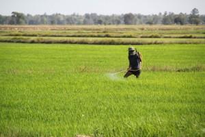 Hand spraying rice fields Cambodia